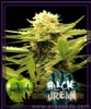 Eva Black Dreams Female 3 Marijuana Seeds